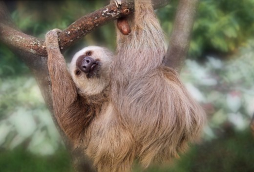Three-toed sloth hanging in a tree : Stock Photo