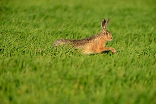 Brown (European Hare (Lepus europaeus) : Stock Photo