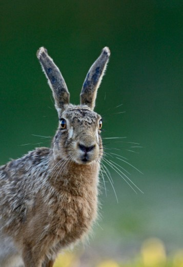 Stock Photo: 1672R-68245 European Brown Hare (Lepus europaeus)