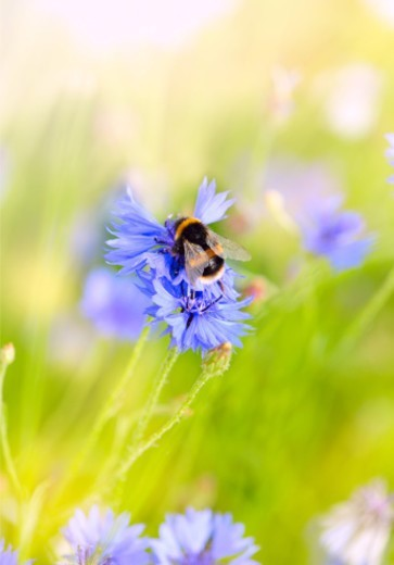 Bumblebee collecting nectar from a wild cornflower : Stock Photo