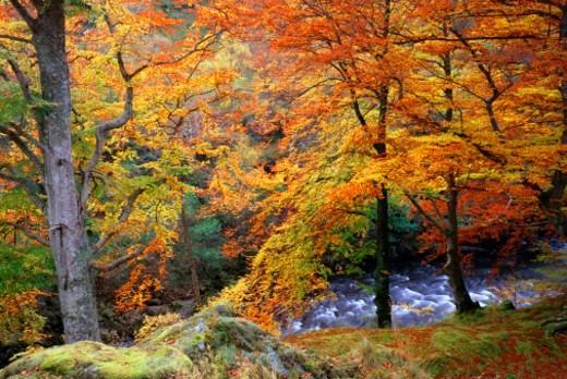 Autumn beech wood in Glen Lyon, Perthshire : Stock Photo