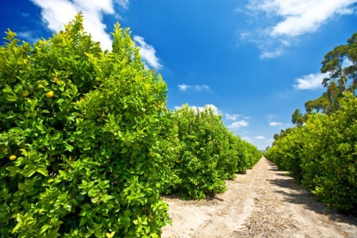 Stock Photo: 1672R-70480 Lemon trees on a farm in California