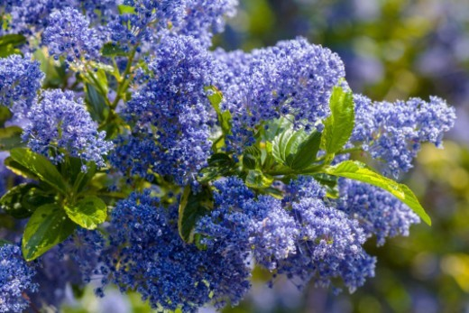 Stock Photo: 1672R-70998 Ceanothus variety; thyrsiflorus repens El Dorado.