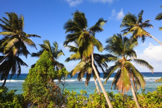 Stock Photo: 1672R-71519 Coconut palm trees by the Indian Ocean