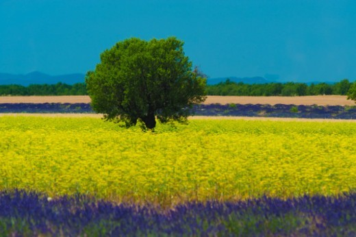 Stock Photo: 1672R-73064 Lavender and colza in summer, Provence, France