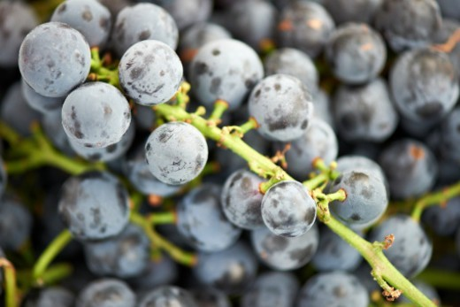 Fresh Concord grapes at a farmers market in Northern Virginia. : Stock Photo