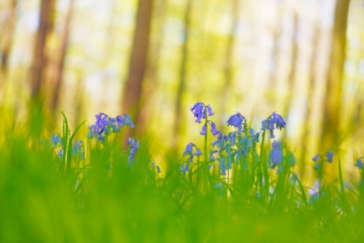 Bluebells in a beech forest at noon, Hallerbos, Halle, Belgium. : Stock Photo