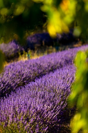 Stock Photo: 1672R-74471 Blooming field of lavender (Lavandula angustifolia) in Boux, Luberon Mountains, Vaucluse, Provence-Alpes-Cote d'Azur, Southern France.