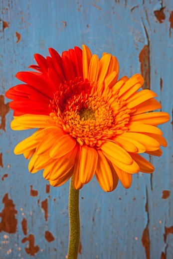 Stock Photo: 1672R-75154 Two color gerbera daisy