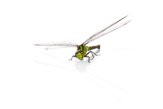 Stock Photo: 1672R-76331 Green dragonfly