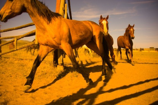 Stock Photo: 1672R-76512 Horse drive, horses returning to a corral