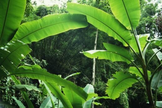 Stock Photo: 1672R-7724 Thailand, banana trees (Musa sp.) in jungle