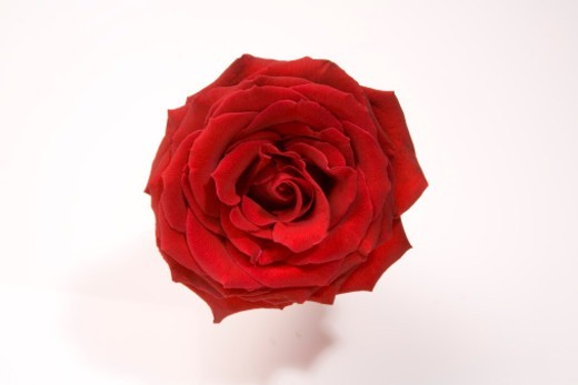 Stock Photo: 1672R-77309 Red rose, close-up