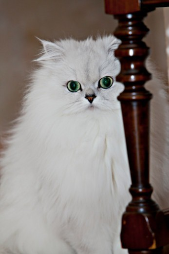 Stock Photo: 1672R-77503 A white Persian Chinchilla cat