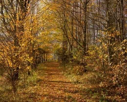 Stock Photo: 1672R-77701 Path through fall trees