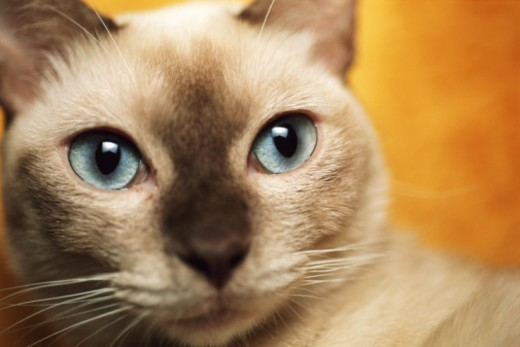 Stock Photo: 1672R-7817 Tonkinese cat, close-up