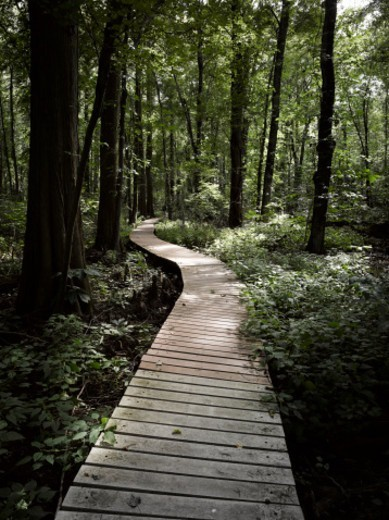 Stock Photo: 1672R-78761 Boardwalk through a bald cypress forest, Maryland