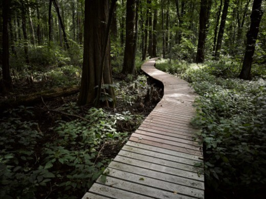 Stock Photo: 1672R-78763 Boardwalk through a bald cypress forest, Maryland