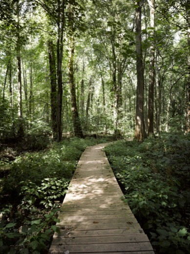 Boardwalk through a bald cypress forest, Maryland : Stock Photo