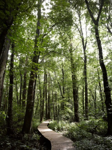 Stock Photo: 1672R-78767 Boardwalk through a bald cypress forest, Maryland