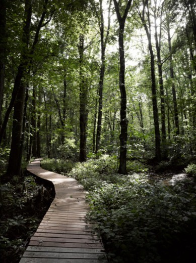 Stock Photo: 1672R-78768 Boardwalk through a bald cypress forest, Maryland