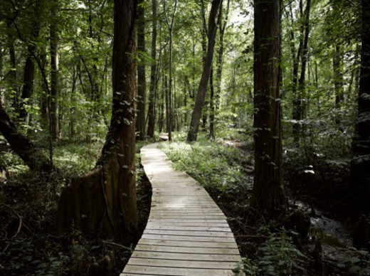 Stock Photo: 1672R-78769 Boardwalk through a bald cypress forest, Maryland