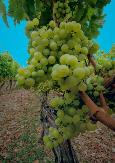 Stock Photo: 1672R-79056 Siegerrebe wine grapes on the vines