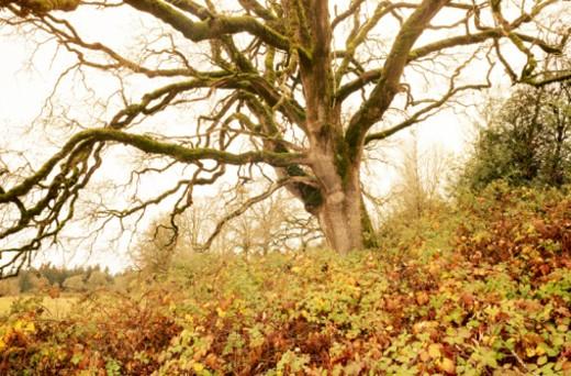 Garry oak (Quercus garryana). : Stock Photo