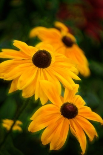 Black-eyed Susans (Rudbeckia hirta) in bloom in a summer cottage garden.Digitally enhanced image. : Stock Photo