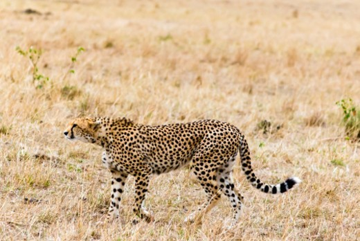 Cheetah, (Acinonyx jubatus), Masai Mara National Reserve, Kenya, East Africa. : Stock Photo