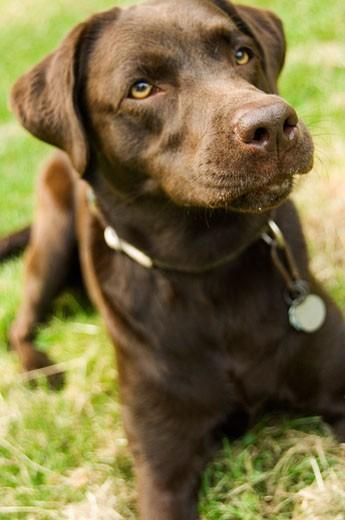 Stock Photo: 1679-196 Close-up of a Chocolate Labrador Retriver lying on grass