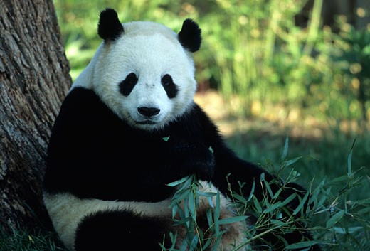 Washington, District of Columbia. A giant panda eating bamboo. : Stock Photo