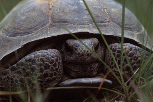 Southern Georgia. A rare gopher tortoise curls up in its shell in a forest. : Stock Photo