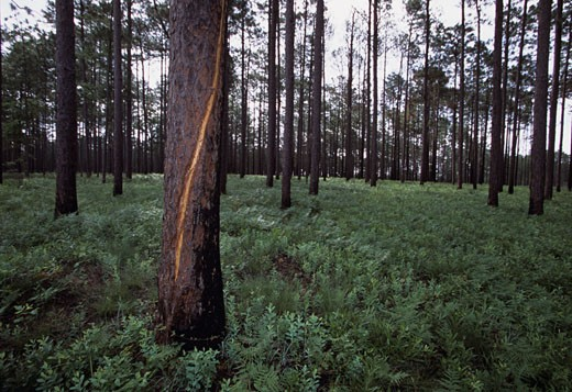 Southern Georgia. A lightning scarred tree in a forest naturally cleaned by fire. : Stock Photo