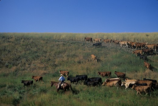 Steamboat Springs, Colorado. A cowboy rounds up his herd to take them to a new pasture. : Stock Photo