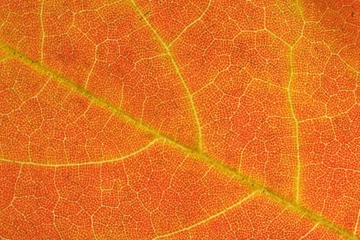 Washington, District of Columbia. A close view of the veins and cells of a leaf in autumn color. : Stock Photo
