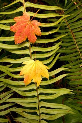 Stock Photo: 1701R-18121 Redwood National Park, Orick, California.