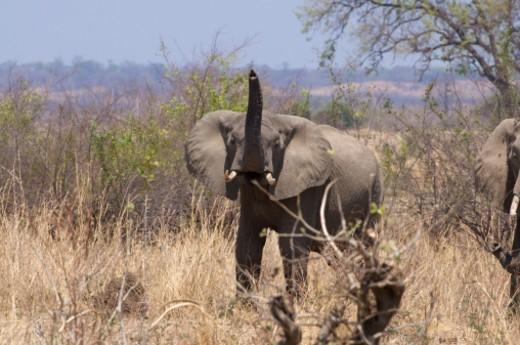 South Luangwa National Park, Zambia. : Stock Photo