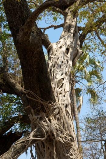 Stock Photo: 1701R-47908 South Luangwa National Park, Zambia.
