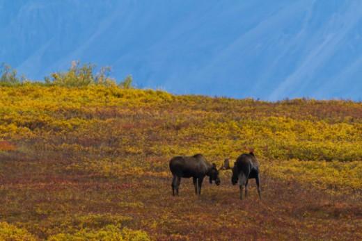 Stock Photo: 1701R-49431 Denali National Park, Alaska, United States.