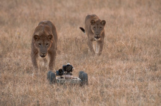 Lions meet the robocar in Queen Elizabeth National Park. : Stock Photo