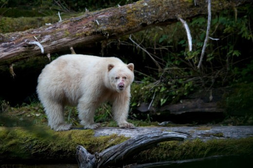 A Kermode or spirit bear walks on a log while fishing for salmon. : Stock Photo