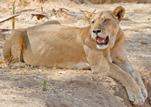 Ruaha National Park, Tanzania : Stock Photo