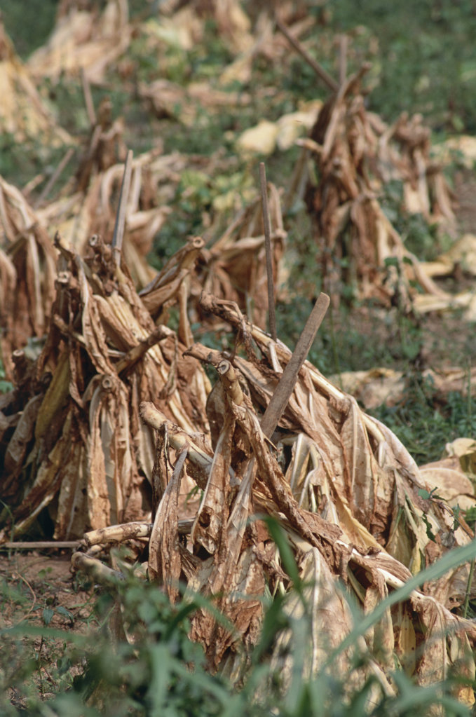 Stock Photo: 172-6635 Dried Tobacco Kentucky USA