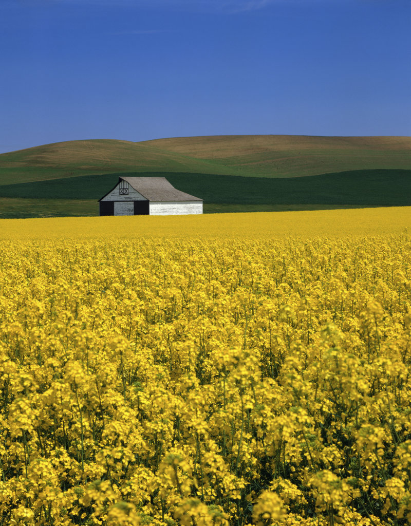 Stock Photo: 172-697 Rapeseed Whitman County Washington USA