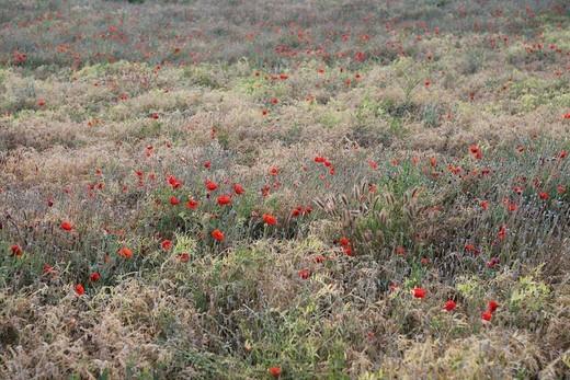 Stock Photo: 1742R-17929 Blooming poppy flower in a field