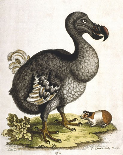 Stock Photo: 1746-1344 Dodo - Didus ineptus, extinct bird from Madagascar. From G. Edwards 'A Natural History of Uncommon Birds .......', London, 1750