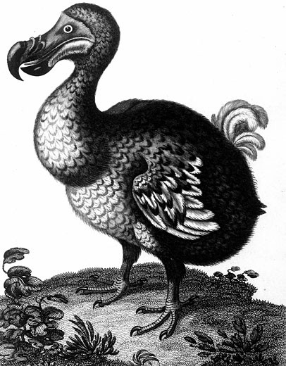 Dodo - Raphus cucullatus, formerly Didus ineptus, extinct flightless bird from Madagascar, Copperplate engraving c1804. : Stock Photo