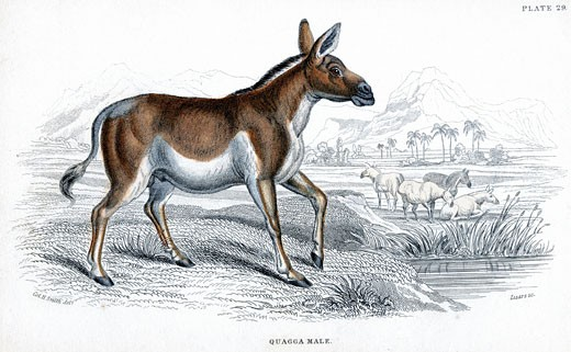 Quagga (Equus quagga): Extinct South African mammal of the horse family, Hand-coloured engraving, Published London c1830 , After drawing by Lt.Col. Charles Hamilton Smith : Stock Photo