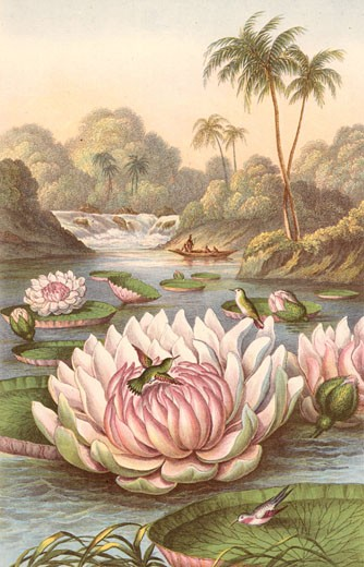 Victoria Regia, the giant South American waterlily discovered by Robert Hermann Schomburgk (1804-1865), British traveller and explorer, during an expedition in British Guiana, with Humming Birds. Coloured engraving, London, 1874. : Stock Photo
